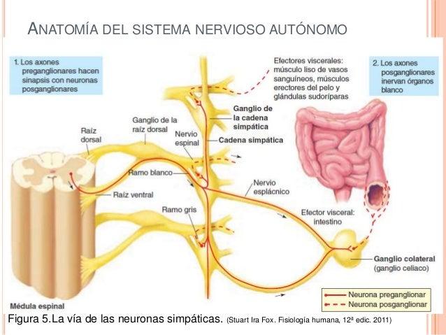 Estructura Y Función Del Sistema Nervioso Periférico