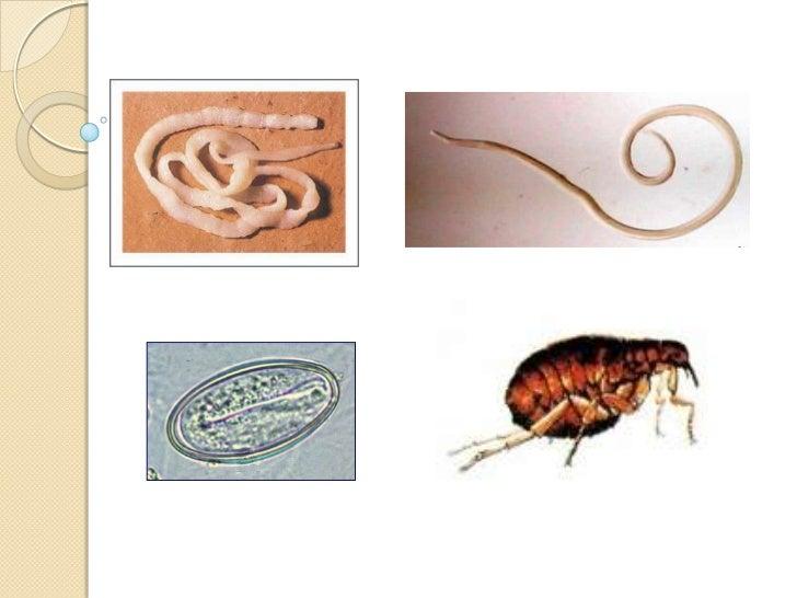 Estructura y morfología  parasitaria integral 2012 Slide 2