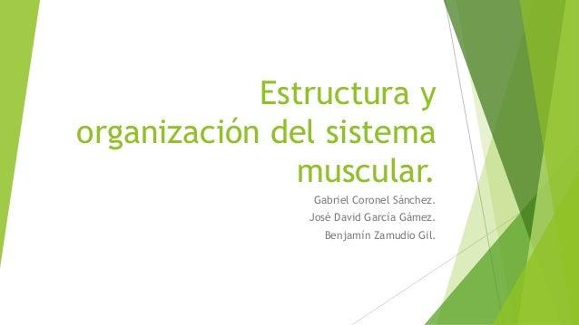 Estructura yorganización del sistemamuscular.Gabriel Coronel Sánchez.José David García Gámez.Benjamín Zamudio Gil.