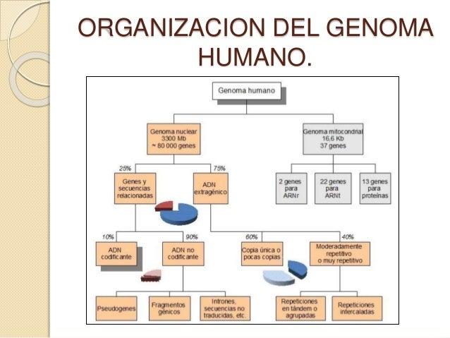 Estructura Y Organizacon Del Genoma Humano