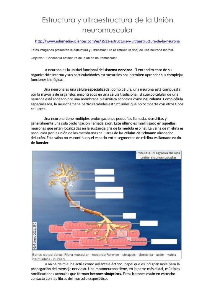 Estructura y ultraestructura de la unión neuromuscular