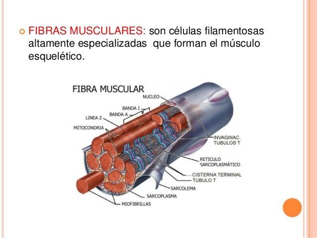Estructura y ultra estructura del musculo