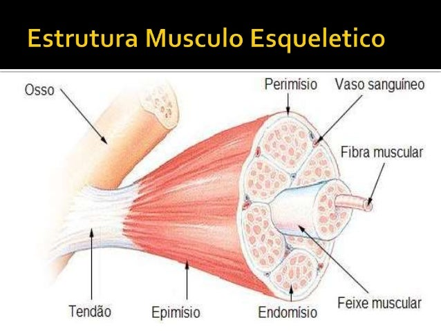 Estrutura E Funcionamento Do Musculo Esqueletico