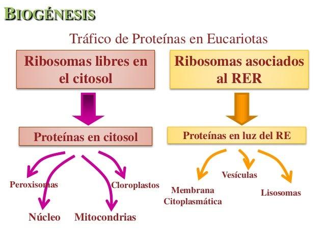 Diferencias entre los ribosomas libres y los ligados