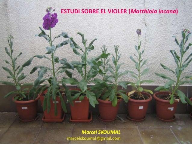 ESTUDI SOBRE EL VIOLER (Matthiola incana)        Marcel SKOUMAL  marcelskoumal@gmail.com