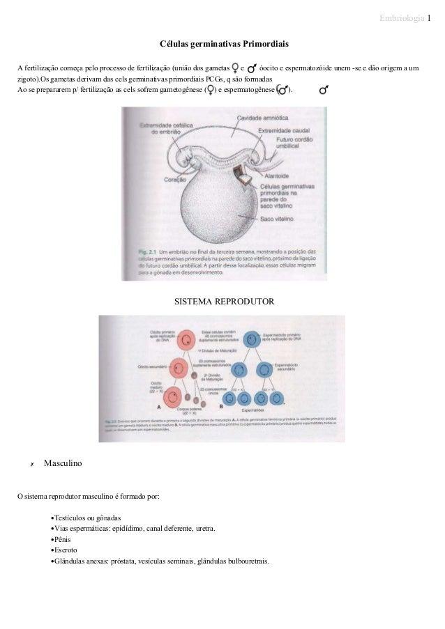 Embriologia 1 Células germinativas Primordiais A fertilização começa pelo processo de fertilização (união dos gametas e óo...