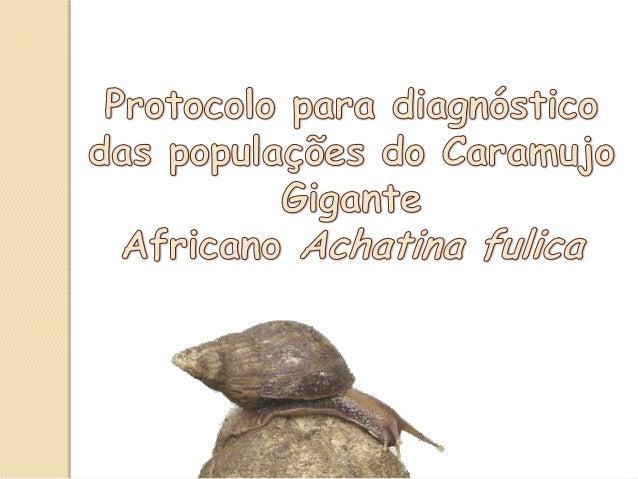 Invasão Achatina fulica Detecção difícil • Populações são pouco vigorosas (MEAD, 1961); • Podem inicialmente estar em loca...