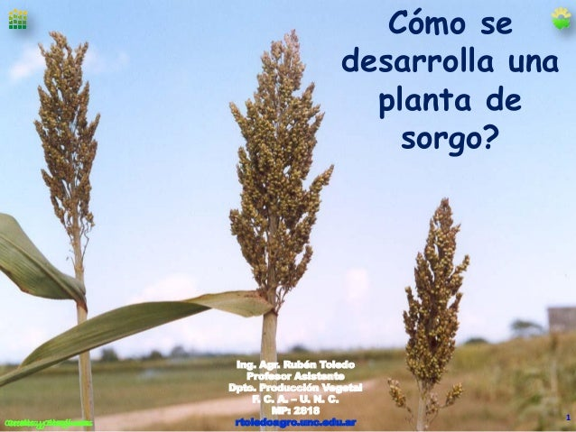 Cómo se desarrolla una planta de sorgo?  Cereales y Oleaginosas Cereales y Oleaginosas  Ing. Agr. Rubén Toledo Profesor As...