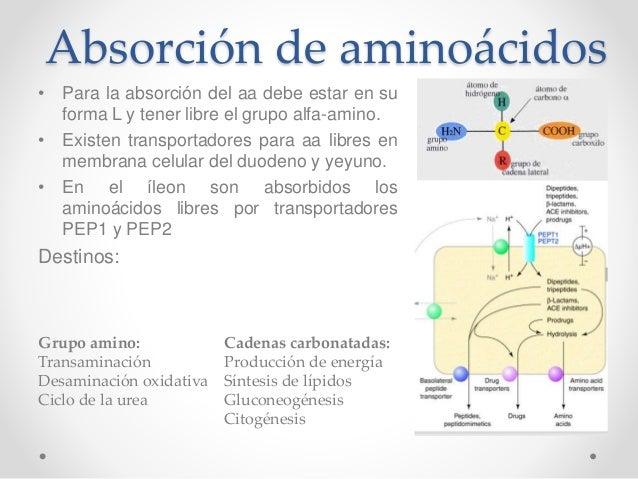 Etapas y mecanismos de absorción de aminoácidos