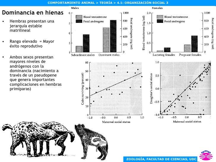 Dominancia en hienas <ul><li>Hembras presentan una jerarquía estable matrilineal </li></ul><ul><li>Rango elevado  = Mayor ...