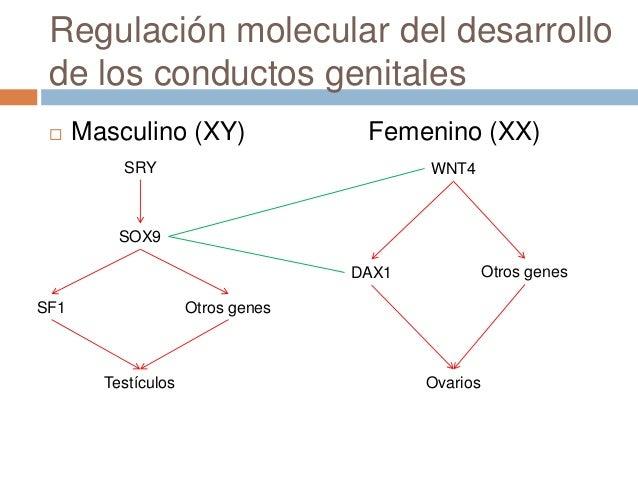 Conductos genitales femeninos