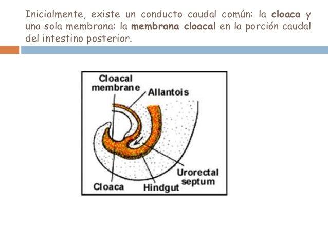 Derivados endodérmicos del aparato genital masculino:La próstata y las porciones prostática y membranosa de la uretraderiv...