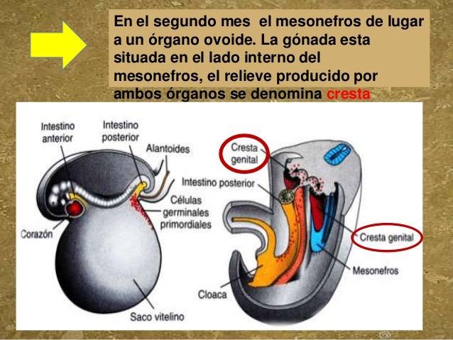 En el segundo mes el mesonefros de lugara un órgano ovoide. La gónada estasituada en el lado interno delmesonefros, el rel...