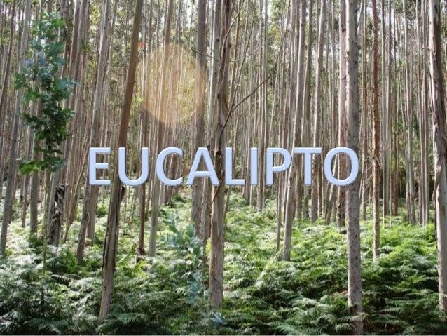 NOMES  Eucalyptus globulus  castelán: eucalipto  inglés: gum tree  francés: eucalyptus  portugués: eucalipto