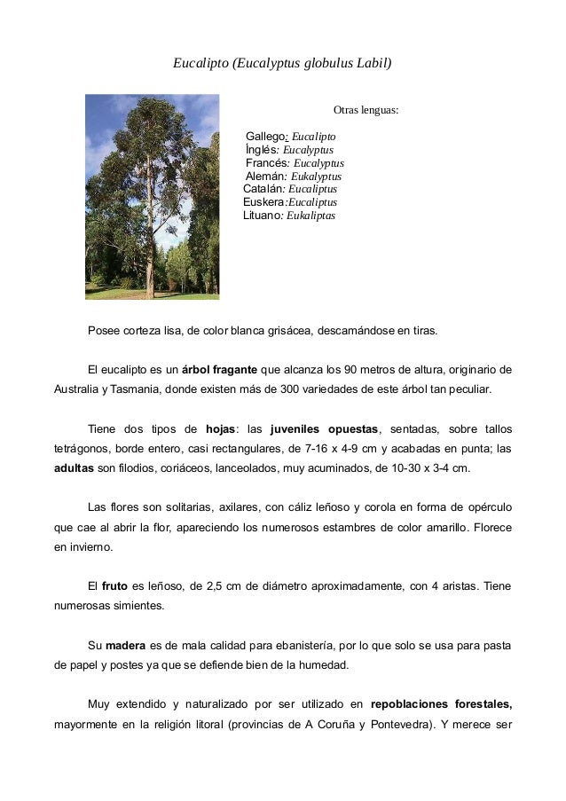 Eucalipto (Eucalyptus globulus Labil) Otras lenguas: Gallego: Eucalipto Ínglés: Eucalyptus Francés: Eucalyptus Alemán: Euk...
