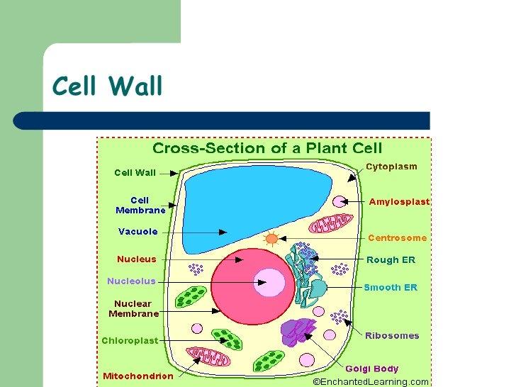 Eukaryotic and prokaryotic cell