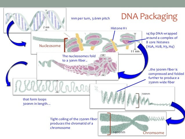 dna packaging Khan academy is a nonprofit with the mission of providing a free, world-class education for anyone, anywhere  dna makes rna, and rna makes protein.