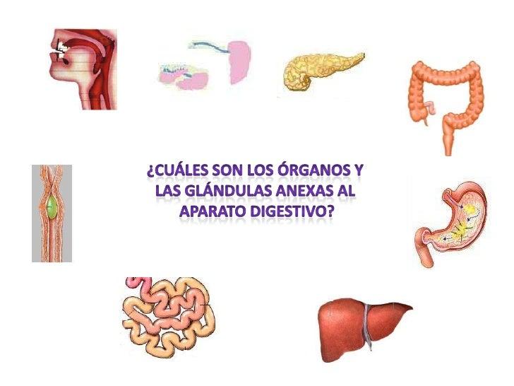 ¿Cuáles son los órganos y <br />las Glándulas anexas al <br />Aparato digestivo?<br />