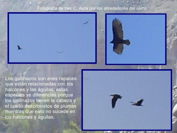 Fotografia de tres C. Aura por los allrededores del cerro Los gallinazos son aves rapaces que están relacionadas con los h...