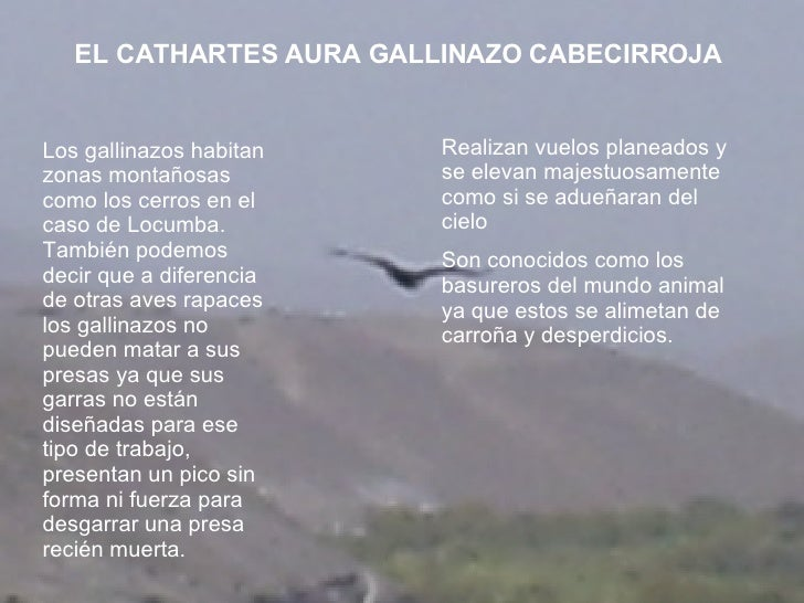 Los gallinazos habitan zonas montañosas como los cerros en el caso de Locumba. También podemos decir que a diferencia de o...