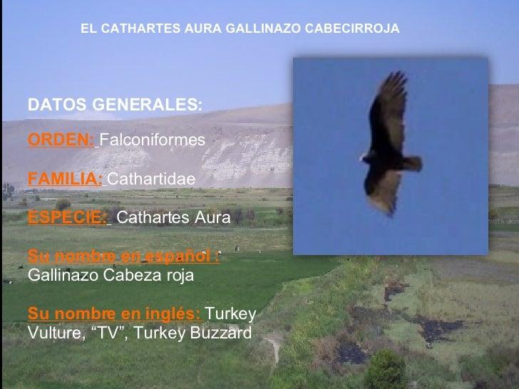 DATOS GENERALES: ORDEN:   Falconiformes FAMILIA:   Cathartidae ESPECIE:   Cathartes Aura Su nombre en español :  Gallinazo...
