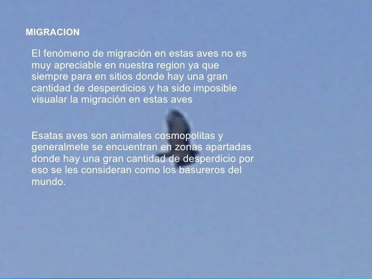 MIGRACION   El fenómeno de migración en estas aves no es muy apreciable en nuestra region ya que siempre para en sitios do...