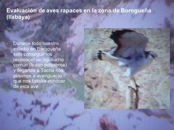 Evaluación de aves rapaces en la zona de Borogueña (Ilabaya) Durante todo nuestro estadio en Borogueña solo conseguimos re...