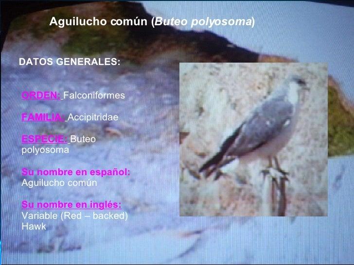 Aguilucho común ( Buteo polyosoma ) DATOS GENERALES: ORDEN:   Falconiformes FAMILIA:   Accipitridae ESPECIE:   Buteo polyo...
