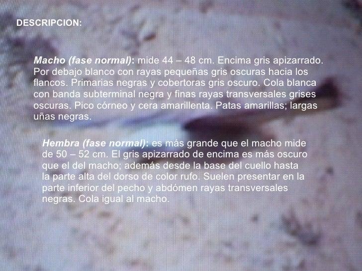 DESCRIPCION: Macho (fase normal) :  mide 44 – 48 cm. Encima gris apizarrado. Por debajo blanco con rayas pequeñas gris osc...