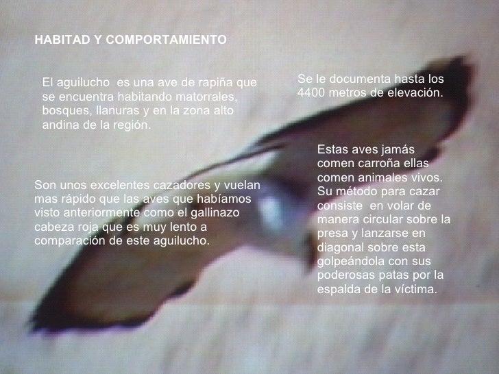 HABITAD Y COMPORTAMIENTO El aguilucho  es una ave de rapiña que se encuentra habitando matorrales, bosques, llanuras y en ...