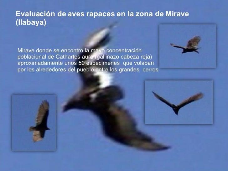 Evaluación de aves rapaces en la zona de Mirave (Ilabaya) Mirave donde se encontro la mayo concentración poblacional de Ca...