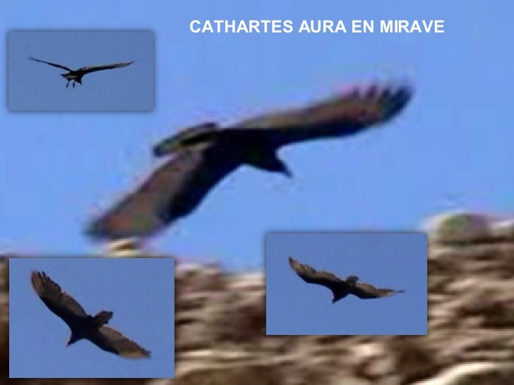 CATHARTES AURA EN MIRAVE