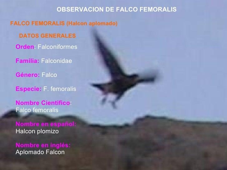OBSERVACION DE FALCO FEMORALIS FALCO FEMORALIS (Halcon aplomado) DATOS GENERALES Orden : Falconiformes Familia:  Falconida...