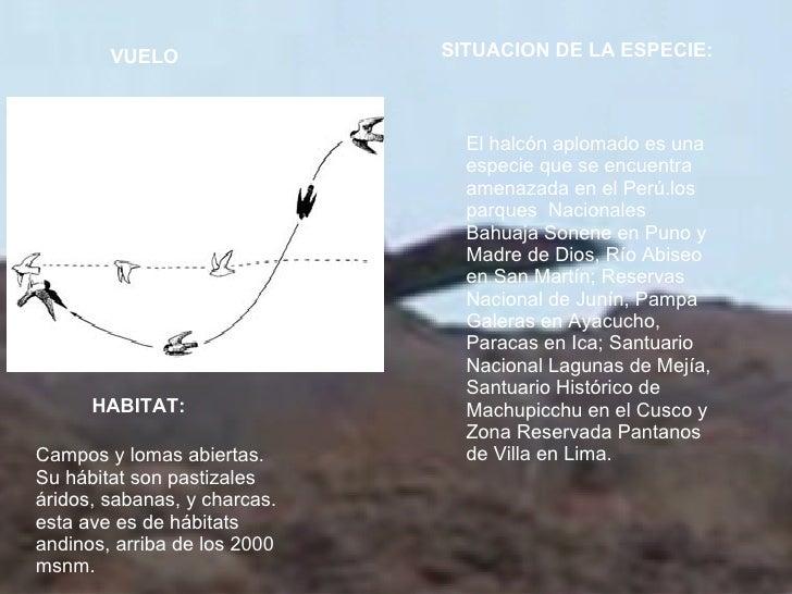 VUELO   HABITAT: SITUACION DE LA ESPECIE: Campos y lomas abiertas.  Su hábitat son pastizales áridos, sabanas, y charcas. ...