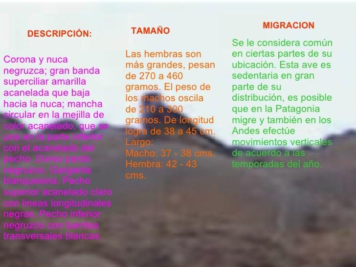 DESCRIPCIÓN:   TAMAÑO MIGRACION   Se le considera común en ciertas partes de su ubicación. Esta ave es sedentaria en gran ...