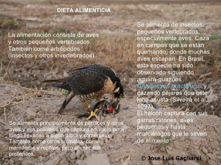 DIETA ALIMENTICIA La alimentación consiste de aves y otros pequeños vertebrados. También come artrópodos (insectos y otros...