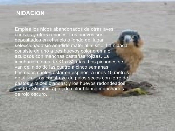 NIDACION Emplea los nidos abandonados de otras aves; cuervos y otras rapaces. Los huevos son depositados en el suelo o fon...