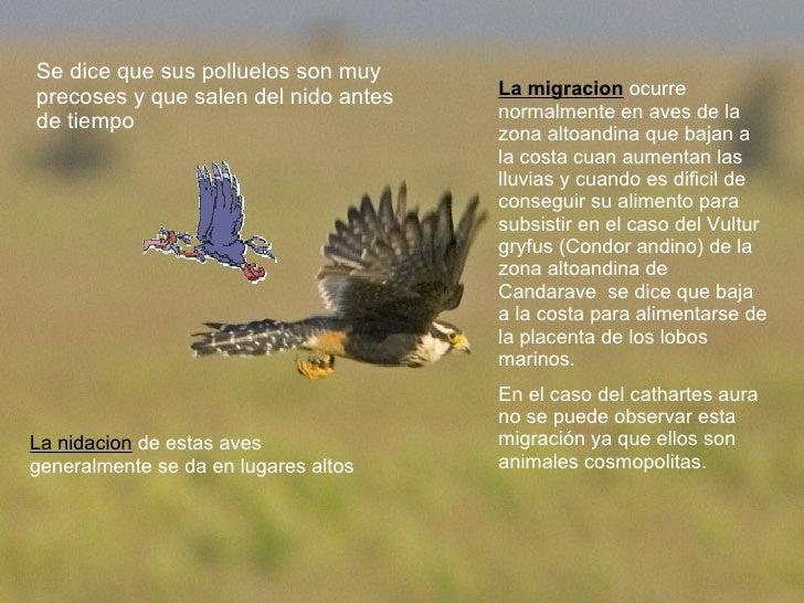 Se dice que sus polluelos son muy precoses y que salen del nido antes de tiempo La nidacion  de estas aves generalmente se...