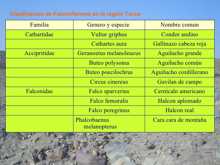 Clasificación de Falconiformes en la región Tacna Cara cara de montaña Phalcobaenus melanopterus Halcon real Falco peregri...
