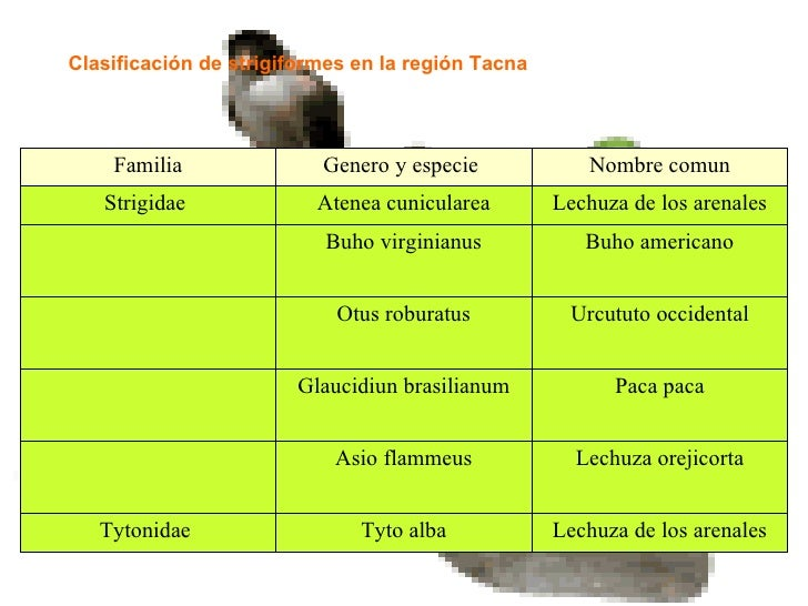 Clasificación de strigiformes en la región Tacna Lechuza de los arenales Tyto alba Tytonidae  Lechuza orejicorta Asio flam...