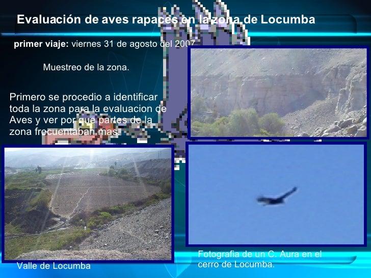 Evaluación de aves rapaces en la zona de Locumba   primer viaje:  viernes 31 de agosto del 2007  Valle de Locumba Muestreo...