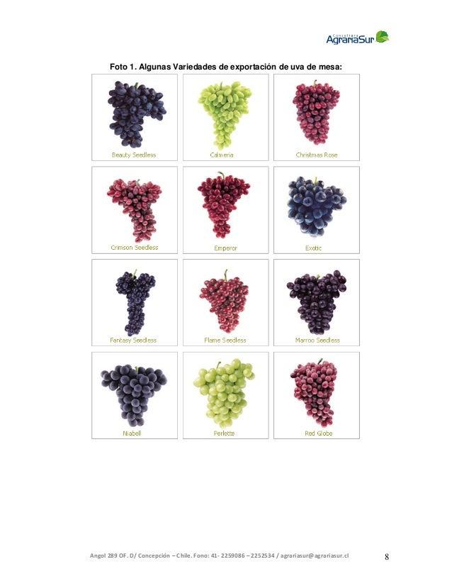 Evaluacion para la comercializacion de uva moscatel - Variedades de uva de mesa ...