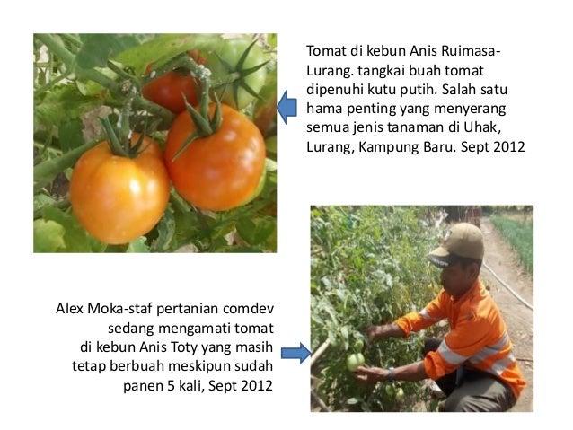 Evaluasi hasil percobaan tanaman sayuran di lurang 33 ccuart Images