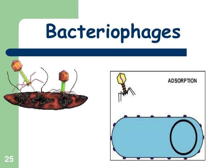 25<br />Bacteriophages<br />