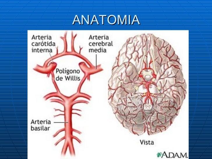 Increíble Vascular Anatomía Cerebral Bosquejo - Anatomía de Las ...