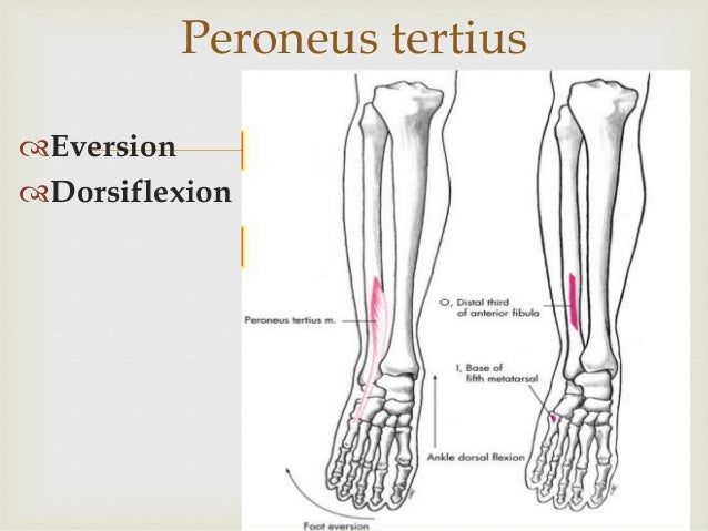Evertor and invertor of foot