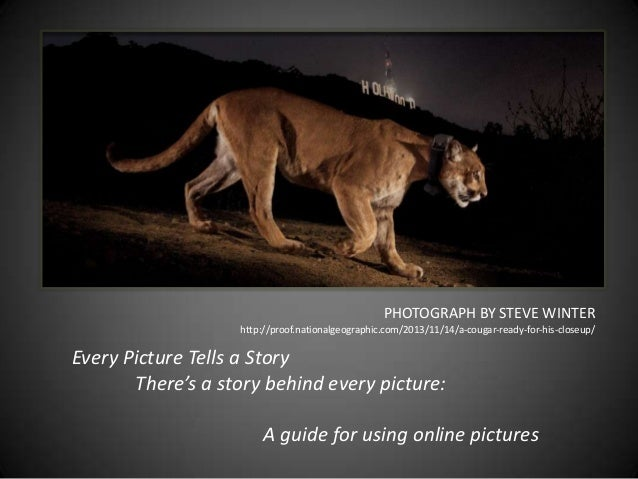 PHOTOGRAPH BY STEVE WINTER http://proof.nationalgeographic.com/2013/11/14/a-cougar-ready-for-his-closeup/  Every Picture T...