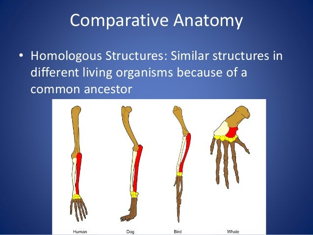 Comparative Anatomy • Analogous Structures: