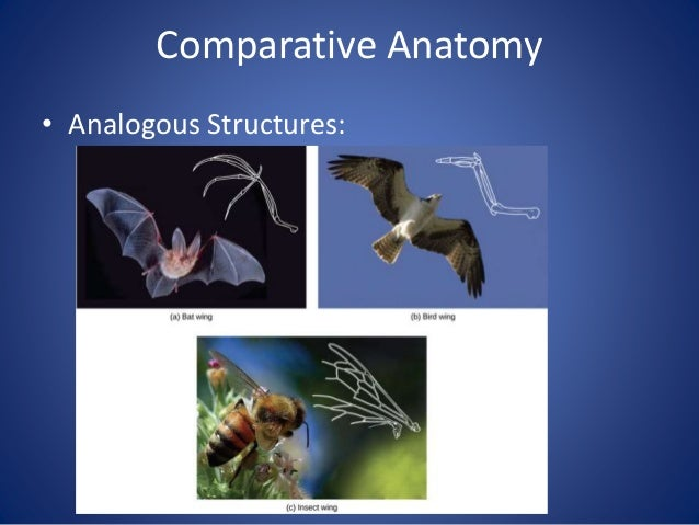Comparative Anatomy • Convergent evolution—animals that are different evolve similar structures due to similar environment...