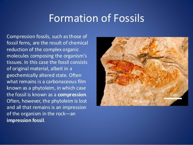 Formation of Fossils Molds and Casts In some cases, the original bone or shell dissolves away, leaving behind an empty spa...